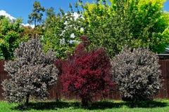 在开花,新西兰的Manuka树 免版税库存照片