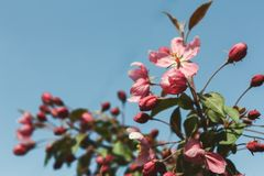 在开花,春天自然背景的苹果树 图库摄影