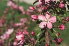 在开花,春天自然背景的苹果树 库存照片