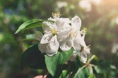 在开花,春天自然背景的苹果树 免版税库存照片