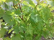 在开花年幼植物前的藤 免版税库存图片