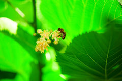 在开花椴树的蜂 免版税库存图片