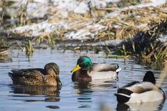 在开阔水域附近的德雷克和野鸭女性冬天在一条冻河 免版税库存图片