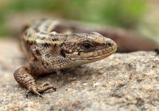 在异常的岩石的蜥蜴 免版税库存照片