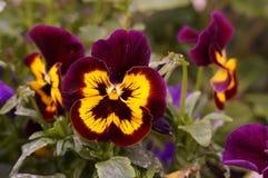 在引起轰动的颜色的花 正面图 免版税库存图片