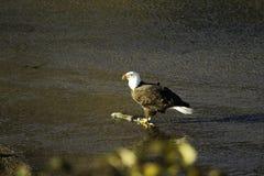 在弗拉泽谷的成人老鹰 免版税库存图片