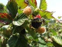在弗朗西斯科・莫拉桑洪都拉斯的黑莓platantion 免版税图库摄影