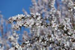 在弗雷斯诺附近的美丽的桃子农厂开花 免版税图库摄影