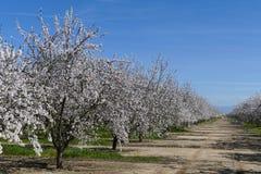 在弗雷斯诺附近的美丽的桃子农厂开花 免版税库存照片