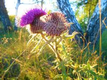 在强光的开花的蓟在森林边缘 免版税库存照片