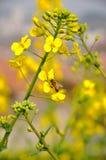 在强奸花的蜂 免版税库存图片