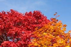 在强烈的颜色的秋季落叶树 免版税库存图片