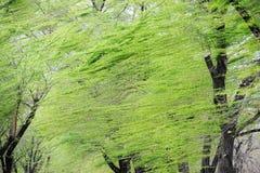 在强风的春天杨柳 免版税库存图片