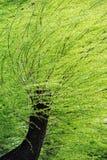 在强风的春天杨柳 库存图片