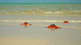 在录影的两个框架 与红色海星的热带白色沙子在清楚的水中 在phu quoc海岛上的海星 a的妇女 股票视频