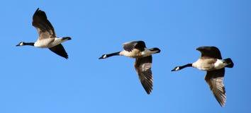在形成的飞行的加拿大鹅在迁移飞行期间 免版税库存图片