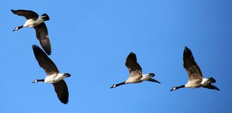 在形成的飞行的加拿大鹅在迁移飞行期间 免版税库存照片
