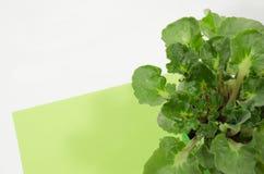 在彩纸背景的鲜绿色的紫罗兰 库存照片