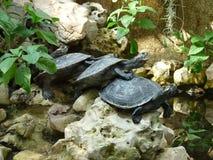 在彼此的4只乌龟 免版税库存图片