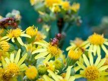 在彼此顶部的两只战士甲虫在黄色花outsid 免版税库存图片