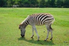 在徒步旅行队世界的一匹斑马 免版税库存图片