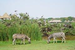 在徒步旅行队世界的两匹斑马 图库摄影