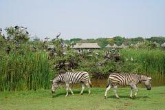 在徒步旅行队世界的两匹斑马 免版税库存照片