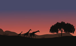 在徒步旅行队和长颈鹿家庭的日落 库存图片