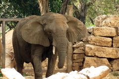 在徒步旅行队拉马干,以色列的大象 免版税库存照片