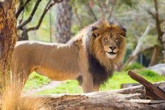 在徒步旅行队样式公园的公狮子 库存照片