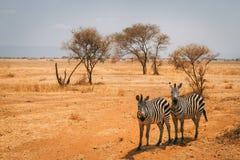 在徒步旅行队的动物在坦桑尼亚 库存照片