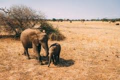 在徒步旅行队的大象在坦桑尼亚 免版税库存图片