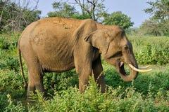 在徒步旅行队的大象在斯里兰卡 免版税库存照片