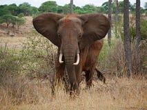 在徒步旅行队的大象特写镜头在Tarangiri-Ngorongoro 库存图片
