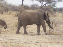 在徒步旅行队的大象,坦桑尼亚 免版税图库摄影