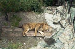 在徒步旅行队的睡觉狮子停放Gelendzhik手段,克拉斯诺达尔地区,俄罗斯 库存照片