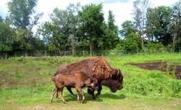 在徒步旅行队的野牛 库存照片
