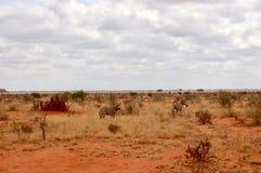 在徒步旅行队的野生斑马 免版税图库摄影
