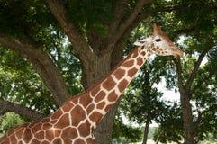 在徒步旅行队的长颈鹿 图库摄影