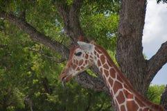 在徒步旅行队的长颈鹿 免版税库存照片