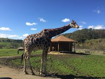 在徒步旅行队的长颈鹿 库存照片