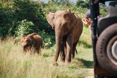 在徒步旅行队的Elefants在全国自然公园Udawalawe在瘦的Sri 库存图片