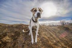 在得克萨斯大农场的逗人喜爱的抢救狗Mondo 图库摄影