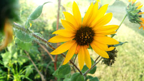 在得克萨斯领域的向日葵 库存图片