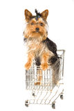 在微型俏丽的小狗购物yorkie里面的购物&#36 免版税库存照片