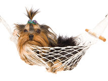 在微型俏丽的小狗yorkie里面的吊床 免版税库存图片