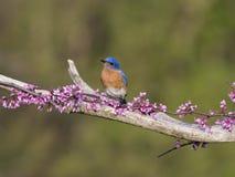 在微小的桃红色开花的公东部蓝鸫 免版税库存照片