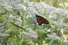 在微小的白色绽放的黑脉金斑蝶 图库摄影