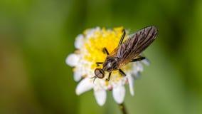 在微小的花的食虫虻 免版税库存照片