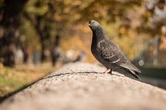 在微温冬天太阳照亮的墙壁上的骄傲的鸽子 免版税库存图片